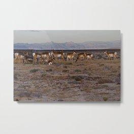 Pronghorn Metal Print