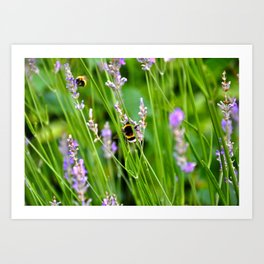 Bumble Bees in Lavender Tuscany Italy Art Print