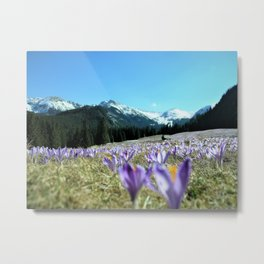 crocuses in the Chochołowska Valley Metal Print
