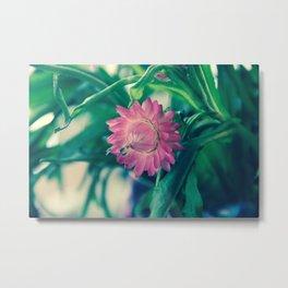 Pink Strawflower Metal Print