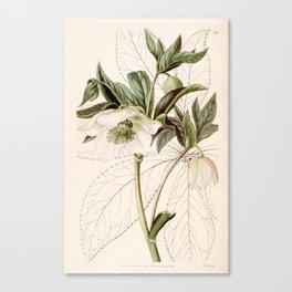 Helleborus orientalis Canvas Print
