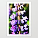 Lupine close up by tinibelli