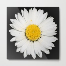 Top View of a White Daisy Isolated on Black Metal Print