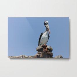 Peruvian pelican (Pelecanus thagus) Metal Print