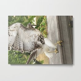 Red Tailed Hawk Takes Flight Metal Print