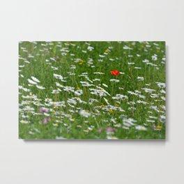 Poppy seed on a meadow Metal Print