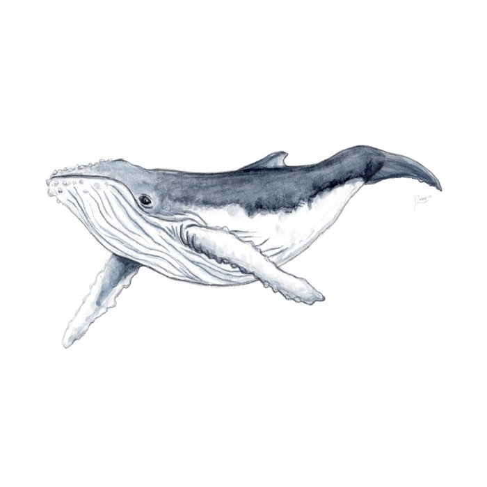 Baby humpback whale (Megaptera novaeangliae) Duvet Cover