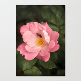 A rose and the fly insect Canvas Print