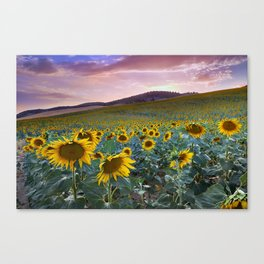 Wonderful Sunflowers. Pink Sunrise Canvas Print