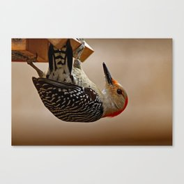 Red-bellied Woodpecker on a Feeder Canvas Print