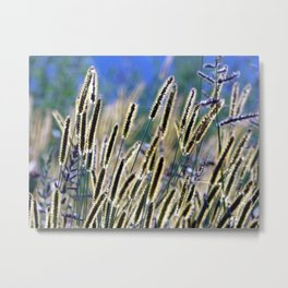 tall grasses with seeds with blue sky and sunny day Metal Print