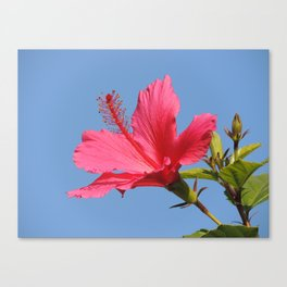 The Neighbor's Pink Hibiscus Canvas Print