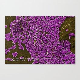 Clumps of Methicillin-Resistant Staphylococcus Aureus Bacteria Canvas Print