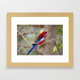Crimson Rosella - Birds of Australia Framed Art Print