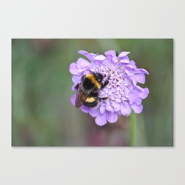 Bee on scabious Canvas Print