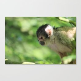 Small Monkey Close Up Canvas Print