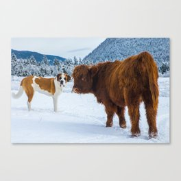 St bernard VS a Hairy cow Canvas Print