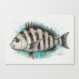 """Sheepshead Splash"" by Amber Marine ~ Watercolor Fish Painting (Copyright 2016) Canvas Print"