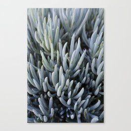 Succulents in Blue Canvas Print
