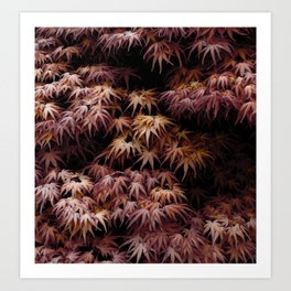Japanese Maple, Acer Palmatum Seigen Art Print