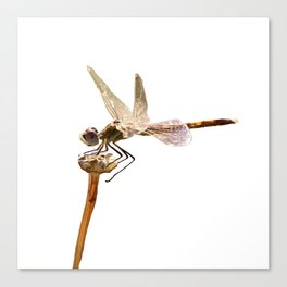 Dragonfly Resting On Seed Head Isolated Canvas Print