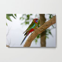 Young Crimson Rosella - Birds of Australia Metal Print
