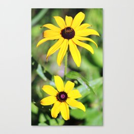 Brown Eyed Susan in Horicon Marsh in Wisconsin Canvas Print