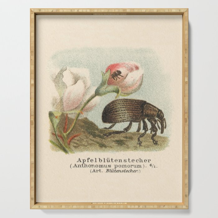 Antique Lithograph of Apple Blossom Weevil Serving Tray