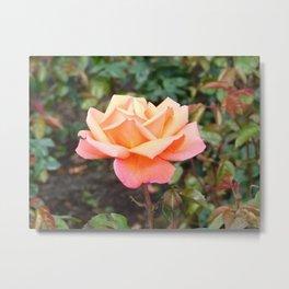 Scottish Rose Metal Print