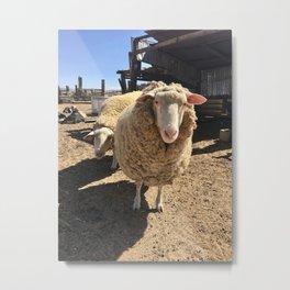 california sheep Metal Print
