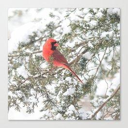 Cardinal on a Snowy Cedar Branch (sq) Canvas Print