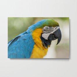 Blue Yellow Parrot (Bird Photography) Metal Print