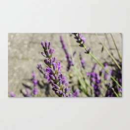 lila am Weg Canvas Print