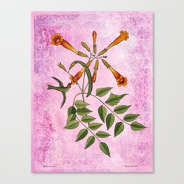 Hummingbird with Trumpet Vine Canvas Print