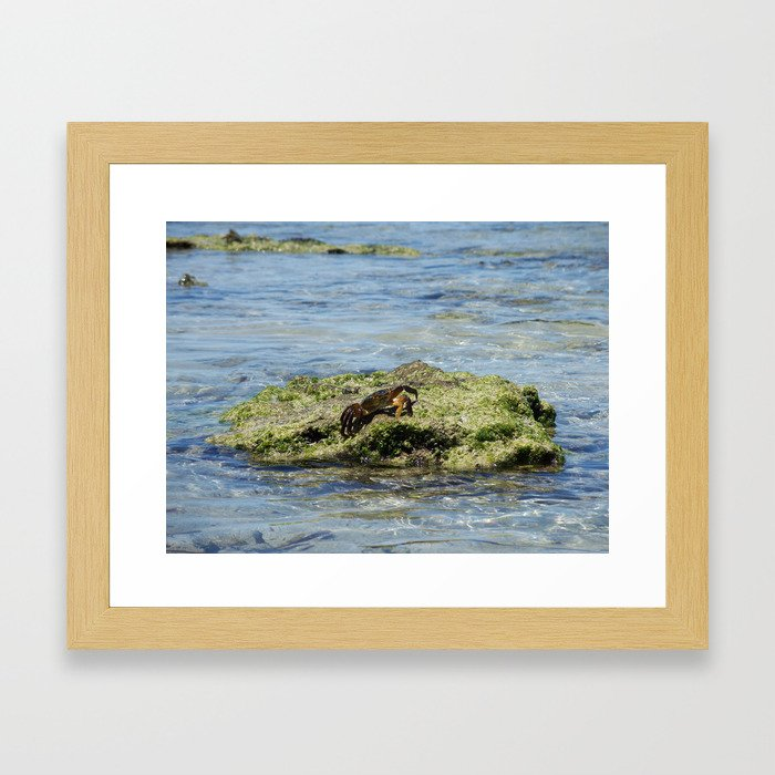 Crab on a Rock Framed Art Print