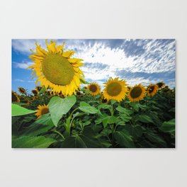 Sunflower Field in Southern Spain Canvas Print