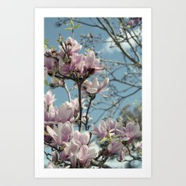 Glorious Magnolias Art Print