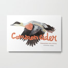 Common eider Metal Print