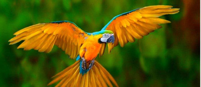 flying golden blue macaw parrot green art coffee mug by sharlesart