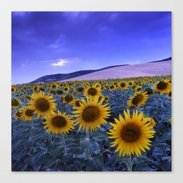 Sunflowers At Blue Hour . Square Canvas Print