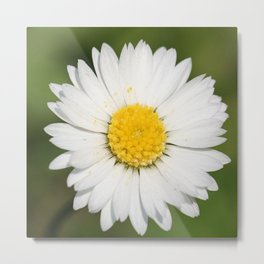 Closeup of a Beautiful Yellow and Wild White Daisy flower Metal Print