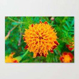 Orange Tagetes flower Canvas Print