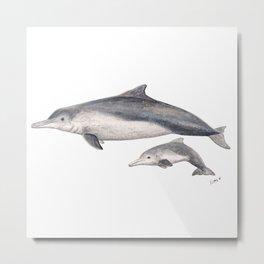 Australian humpback dolphin (Sousa sahulensis) with baby Metal Print