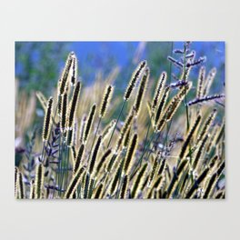 tall grasses with seeds with blue sky and sunny day Canvas Print