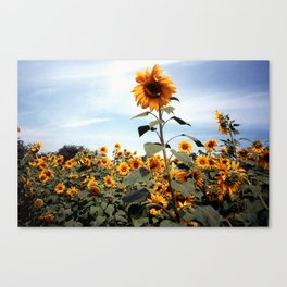 Sunflower Photograph Canvas Print