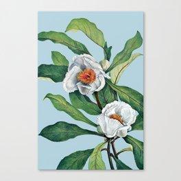 Franklin tree flowers Canvas Print