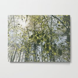 Sunlight through new Spring Beech leaves (Fagus sylvatica). Norfolk, UK Metal Print