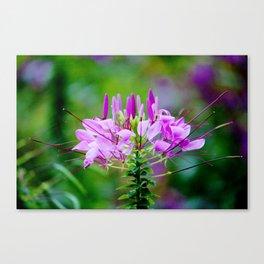 Purple Spider Flower Canvas Print