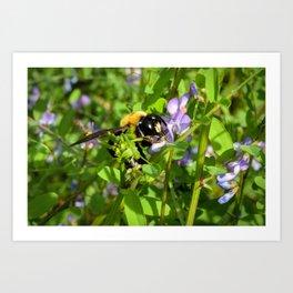 Bumble bee pollination Art Print