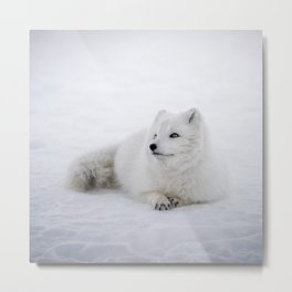 White snow arctic fox Metal Print